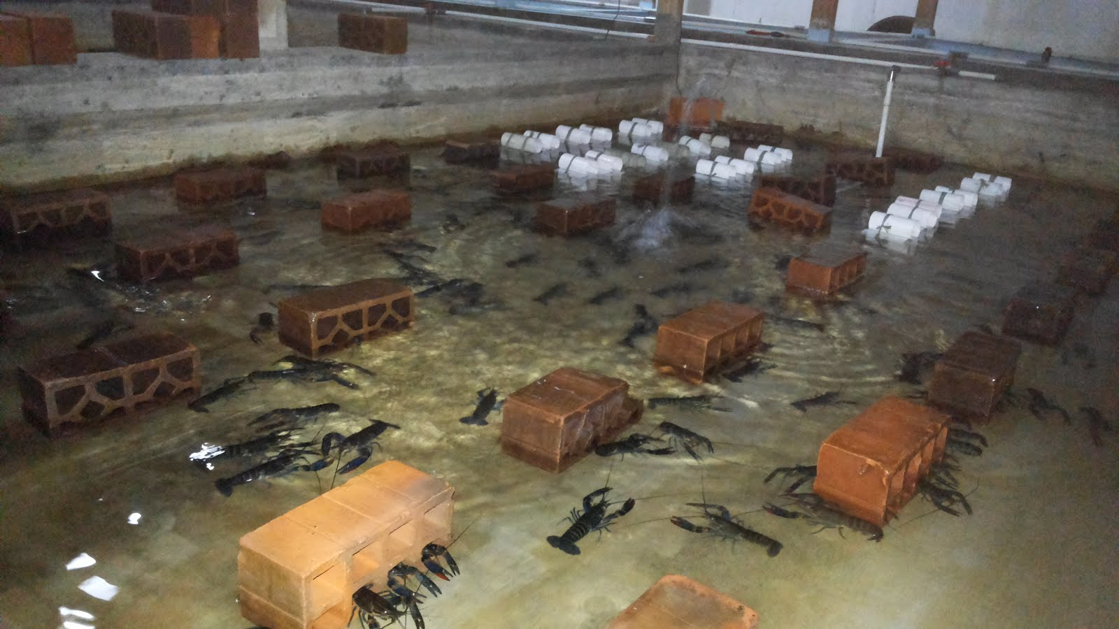 Media kolam lopster air tawar