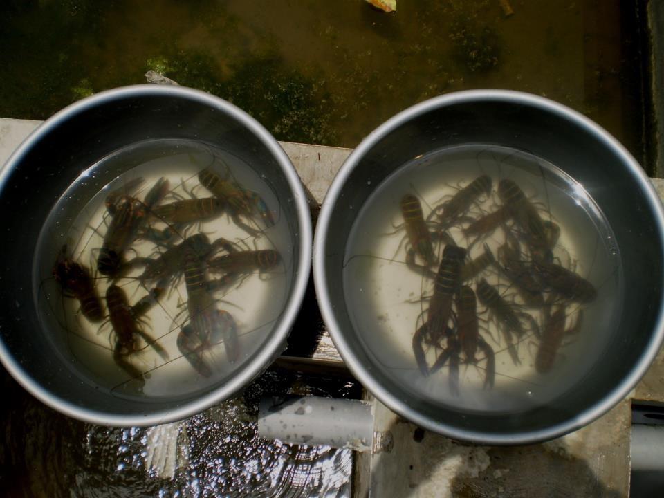 Pilihlah Indukan Lopster air tawar Yang Bagus
