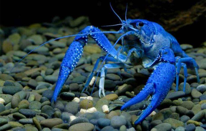Freshwater Lobster